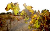 Vignes complexe La Boella Tarragone