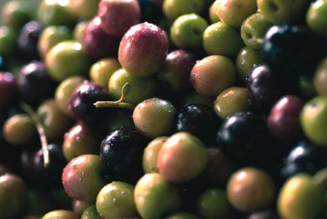 olivas-arbequinas-de-la-boella-en-tarragona