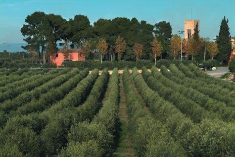 olivos-arbequinos-de-la-boella-en-tarragona